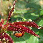 15 astuces pour attirer naturellement les coccinelles au jardin