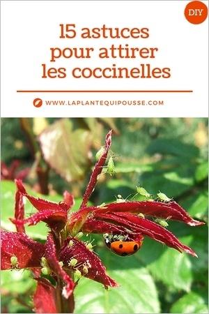 15 astuces pour lutter naturellement contre les pucerons en attirant les coccinelles au jardin