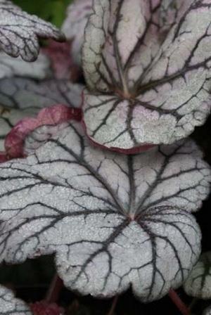 Les plus belle plantes grises: Heuchera Sugar Plum