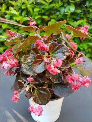 Des fleurs pour une jardinière printemps été et automne: le bégonia semperflorens