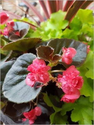 Composer une jardinière d'été: begonia semperflorens aux fleurs doubles rose vif et feuilles bronze