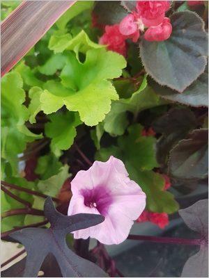 Fleur de patate douce décorative (Ipomoea batatas Blacky), idéale pour composer une jardinière d'été colorée