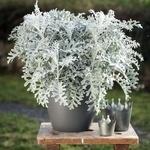 Les plus belles plantes à feuillage gris argenté, comment les utiliser (+3 erreurs à éviter)