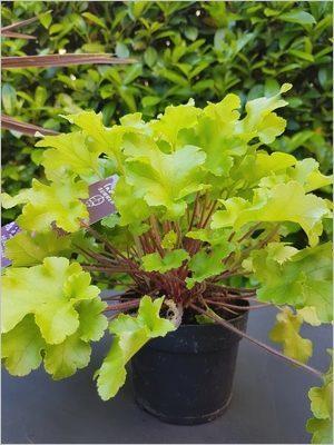 Heuchera Lime Marmalade: plante vivace persistante, au feuillage coloré pour des pots et jardinières