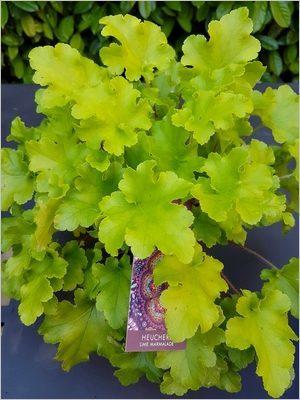 Plante vivace au feuillage persistant décoratif toute l'année, idéal en potées et jardinières: heuchère Lime Marmalade