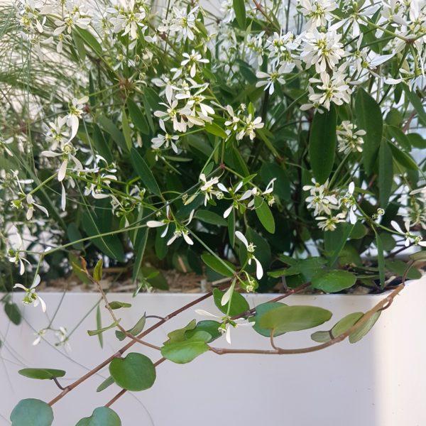 Jardinière fleurs blanches résistantes à la sécheresse - Axel