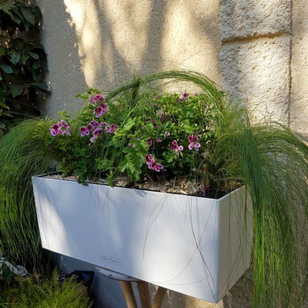 Jardinière plein soleil avec des pelargonium roses et des stipa