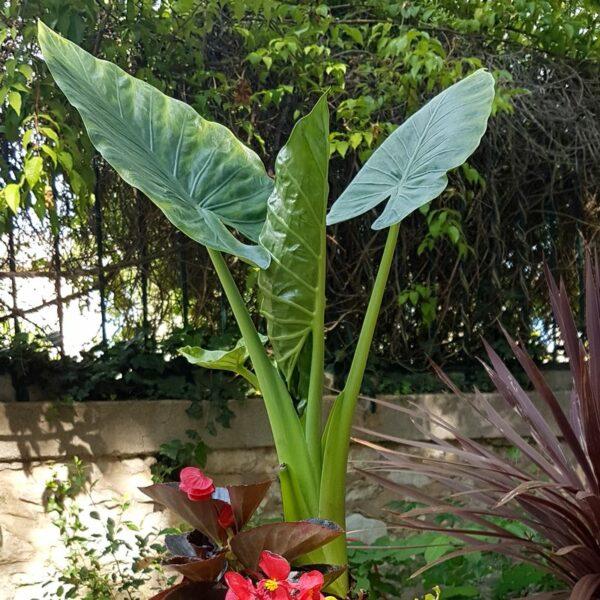Jardinière exotique extérieur intérieur mi-ombre Alocasia macrorrhiza