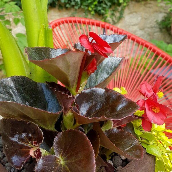 Jardinière exotique extérieur intérieur mi-ombre Begonia rouge