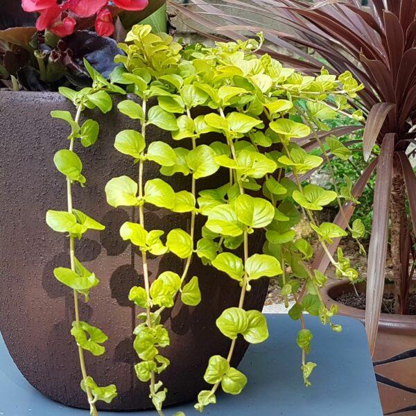 Jardinière exotique extérieur intérieur mi-ombre Krabi avec lysimachia nummularia aurea
