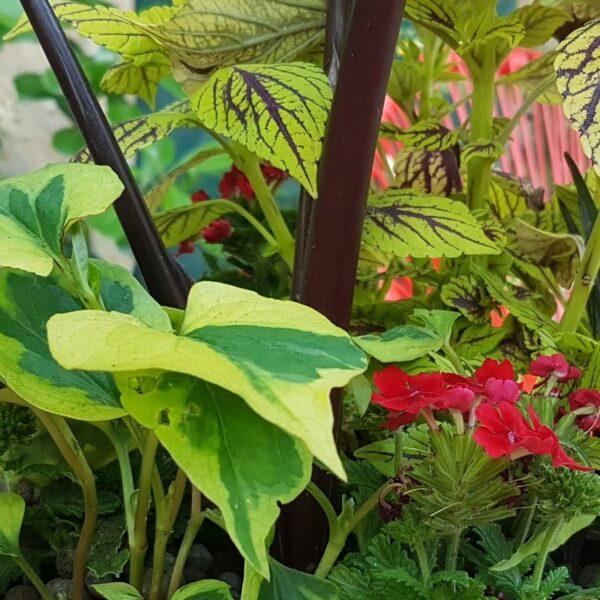 Jardinière tropicale avec Houttuynia cordata et verveine rouge, sur fond Colocasia Black Stem