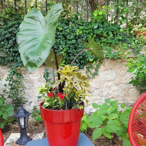 Jardinière tropicale avec Colocasia Black Stem - Lambaréné