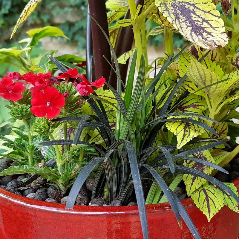 Jardinière tropicale avec ophiopogon nigrescens, coleus caipirinha, verveine rouge, houttuynia cordata et colocasia black stem