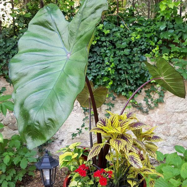 Jardinière ambiance tropicale avec Colocasia Black Stem