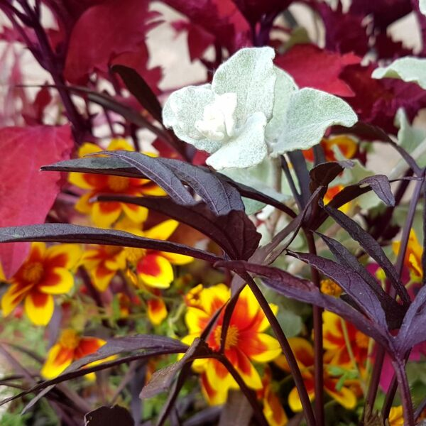Jardinière exotique Bidens, Helichrysum, Ipomoea, Coleus