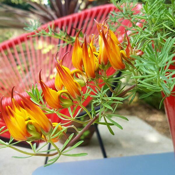 Jardinière plein soleil avec Lotus berthelotii