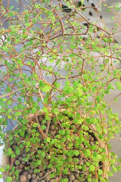 Muehlenbeckia-astonii-arbuste-idee-cadeau-fete-des-peres
