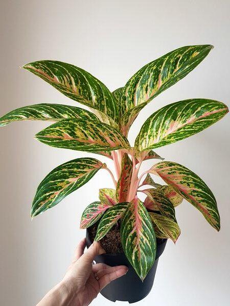 Aglaonema Cocomelon: conseils entretien de cette belle plante d'intérieur au feuillage panaché de rose
