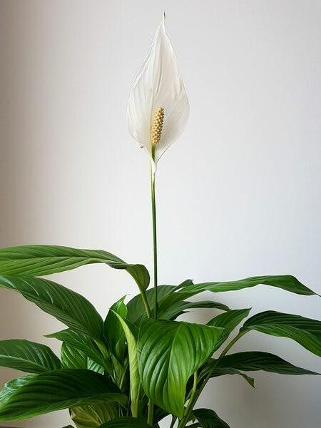 Spathiphyllum: une belle plante verte aux fleurs blanches pour jungle intérieure