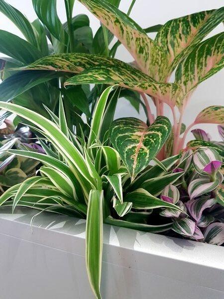 Chlorophytum comosum en composition esprit urban jungle chic
