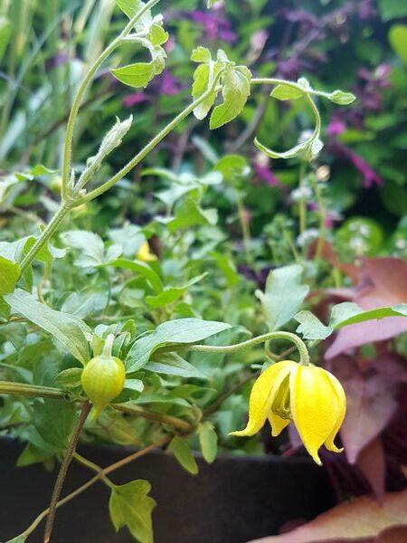 Jolie fleur jaune pour jardinière plein soleil sur balcons et terrasses: clématite naine Clematis tangutica Little Lemons