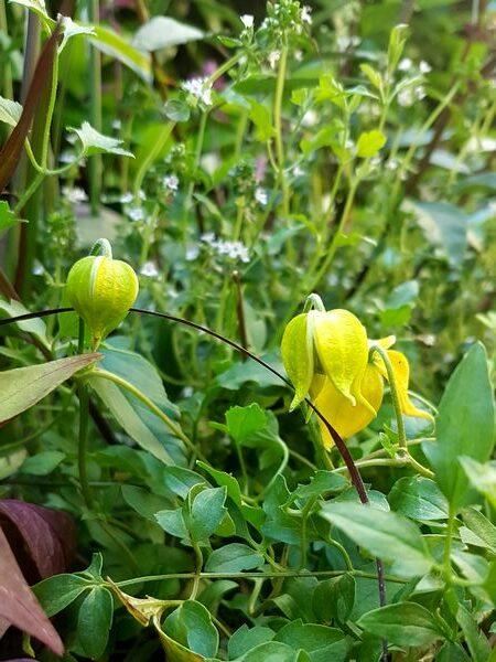 Petite clématite pour balcons terrasses et jardinière plein soleil: Clematis Little Lemons