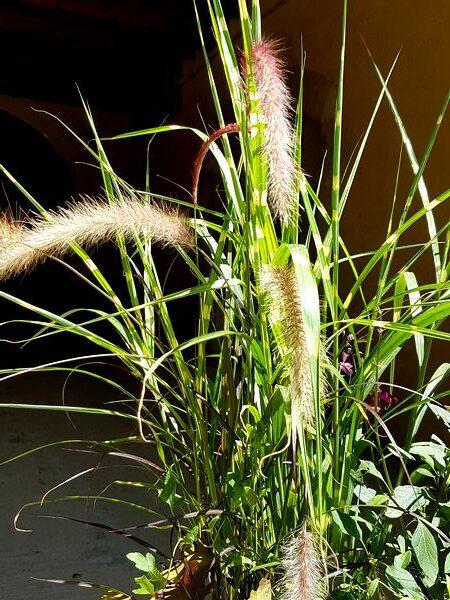 Pennisetum rubrum: une graminée idéale dans une jardinière plein soleil