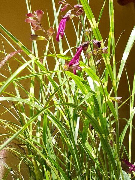Plante vivace pour jardinière plein soleil: une graminée originale, le Miscanthus sinensis Strictus