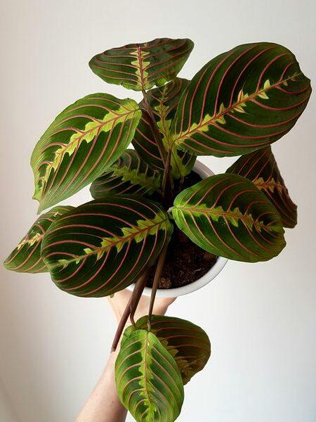 Maranta leuconara Fascinator Tricolor: une plante superbe pour l'intérieur