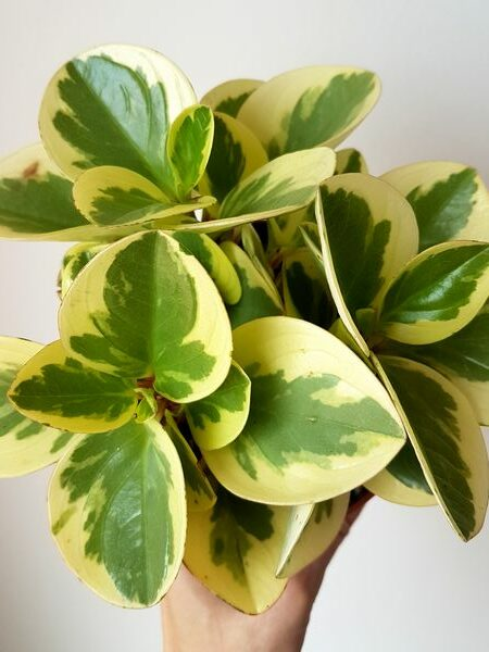 Peperomia obtusifolia variegata: une belle plante d'intérieur facile d'entretien!