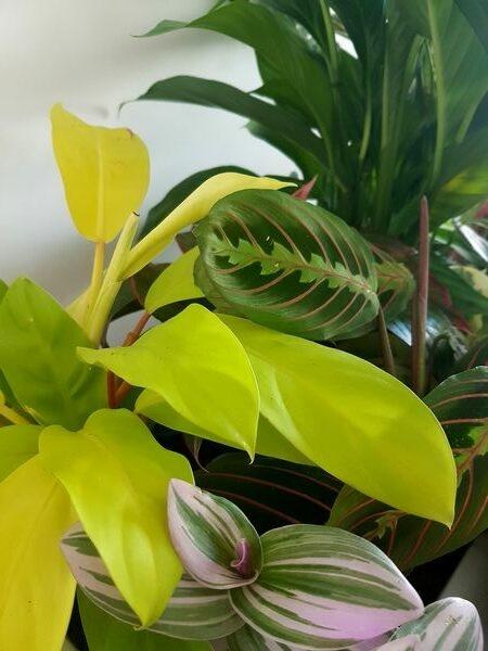Philodendron 'Malay Gold': illumine votre urban jungle d'intérieur!