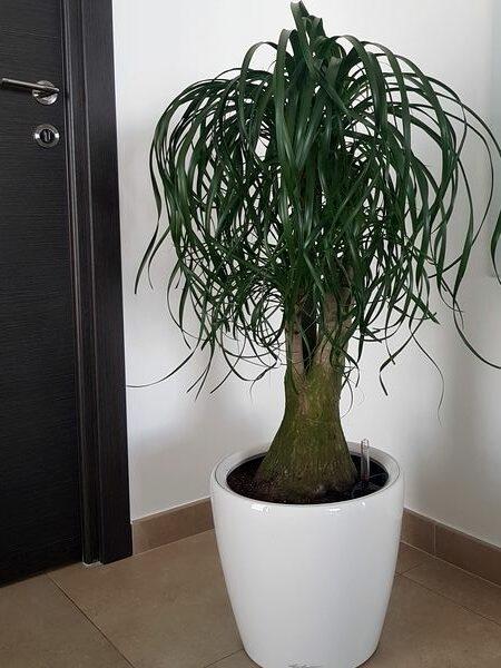 Beaucarnea recurvata: une plante moderne, graphique et échevelée